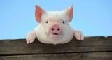 Людям будуть пересаджувати серця генно-модифікованих свиней